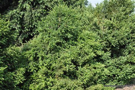 green velvet canada buxus x green velvet the site gardener