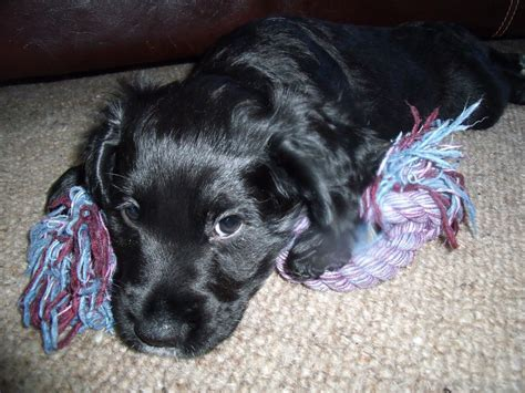 spaniel puppies for sale working cocker spaniel puppies for sale brighton east sussex pets4homes