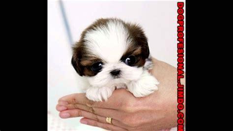 fotos de perros shih tzu cachorros shih tzu perro venta de perros comprar cachorros
