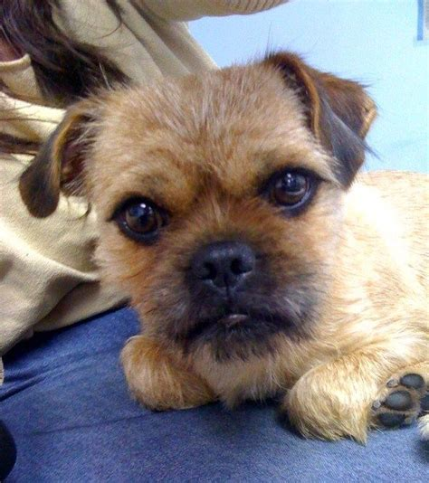 pug and yorkie mix 14 terrier cross breeds you to see to believe