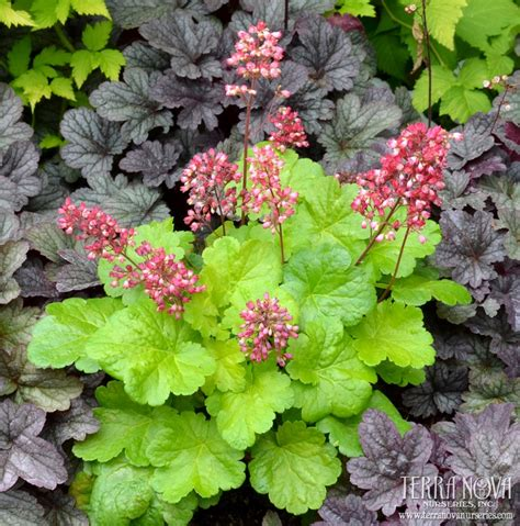 coral colored l shade 804 best heuchera tiarella for my garden images on