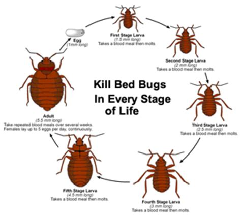how long does it take to kill bed bugs how long does it take for bed bugs to die 28 images