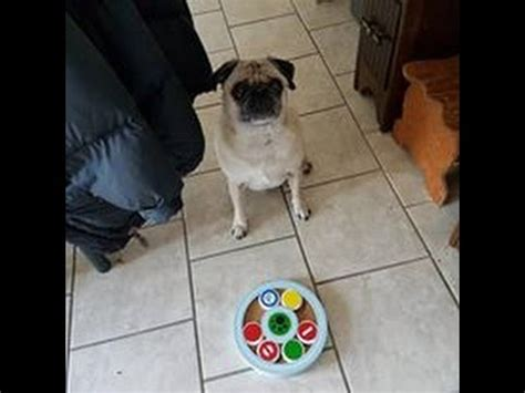 pug intelligence pug and maine coon mix does a easter egg hunt 2017 funnycat tv