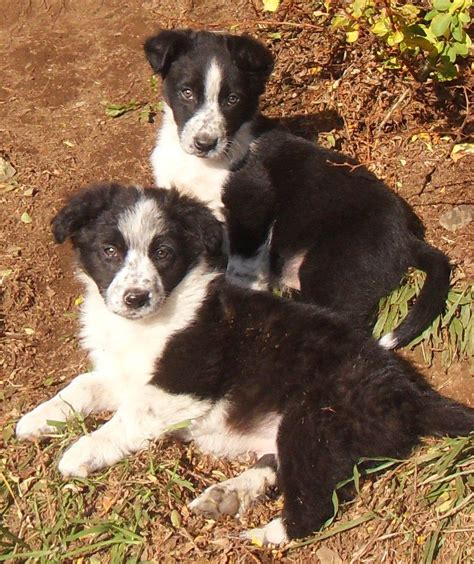 sheepdog puppies for sale sheepdog puppies for sale clynderwen pembrokeshire pets4homes