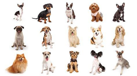 perros peque os para apartamentos 15 razas de perros peque 241 os hogarmania