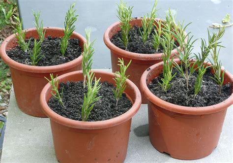 basilico in vaso malattie rosmarino coltivazione come fare aromatiche come