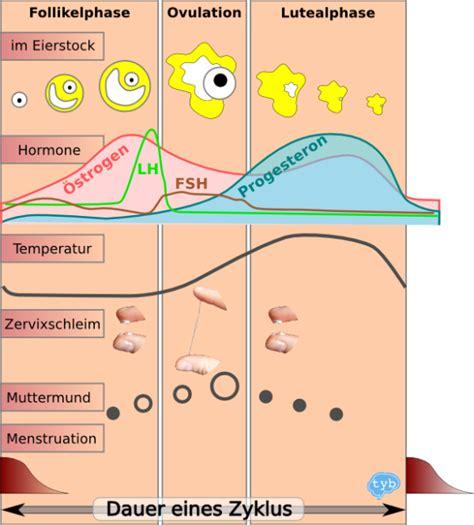 wann eisprung nach regel master of menstruationszyklus
