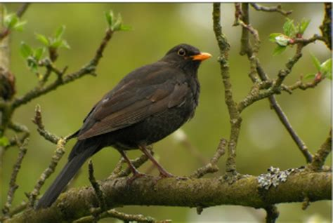 getting rid of blackbirds tips on getting rid of