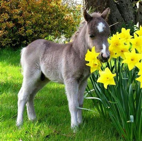 mini pony baby miniature adorable miniature s