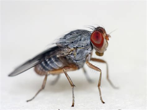 images of fruit flies your attracts fruit flies on purpose wired