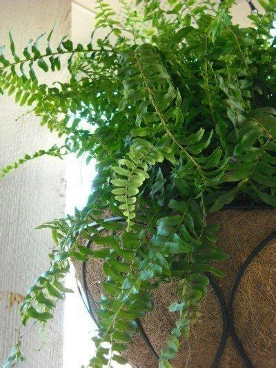daycare boston boston fern care how to take care of a boston fern