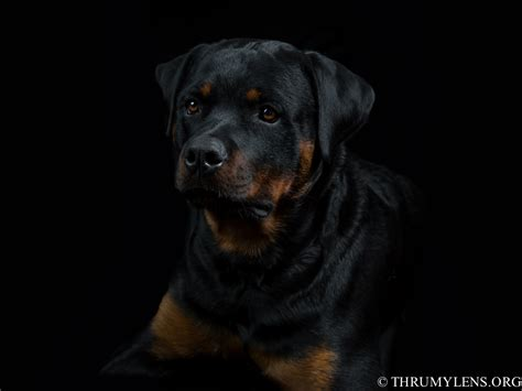 rottweiler puppies ottawa beautiful rottweilers breeds picture