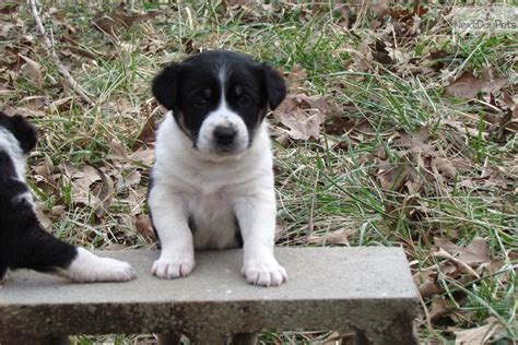 blue heeler puppies for sale in arkansas australian cattle blue heeler puppy for sale near