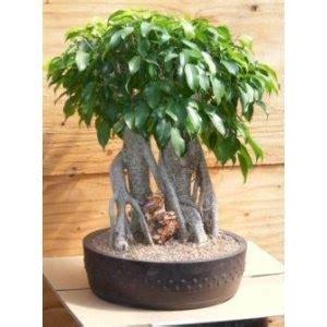 tanaman hias bonsai loa