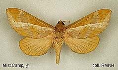 Bm Sordida papua insects foundation lepidoptera hepialidae thumbnails
