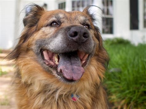 chow chow german shepherd mix german shepherd chow mix shop for your cause