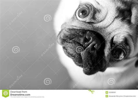 pug stock pug stock photos image 22208393