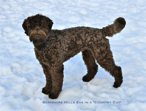 labradoodle grooming cuts picture labradoodle grooming cuts google search blue and lucy