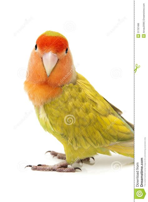 lovebird colors royalty free stock image image 31797486