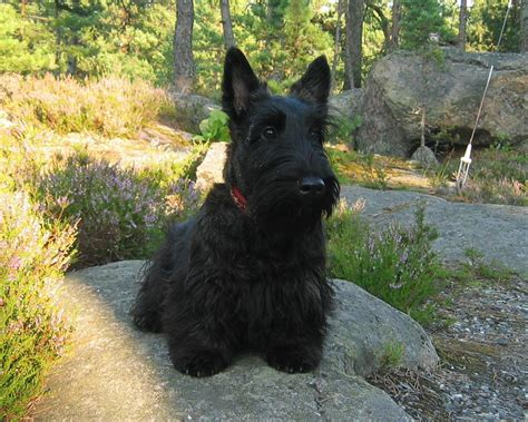 westie breed scottish terrier all small dogs wallpaper 14520586 fanpop