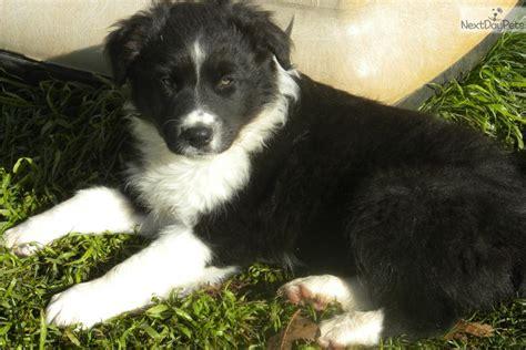 australian shepherd puppies missouri australian shepherd puppy for sale near springfield missouri 28d77daf aab1