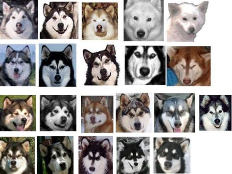 alaskan malamute colors in addition to the various colors alaskan malamutes also