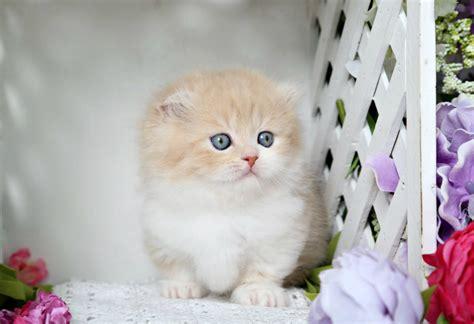rug hugger kittens creamsicle rug hugger minuet fold kitten for saleultra