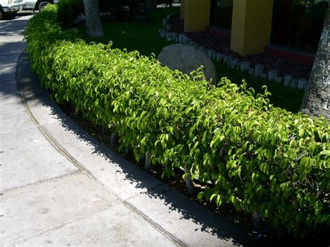 Hedge Planter Bag Small form character dense upright and rounded to spreading with age refined looking formal