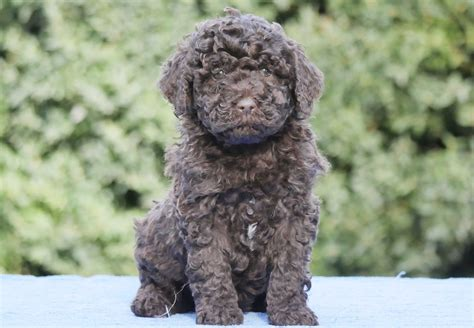 barbet puppies for sale 100 barbet northrock barbets barks and woofs the winston x puppies
