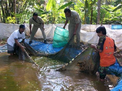 Pakan Ikan Lele Yang Masih Kecil potensi budidaya ikan air tawar di karimun kepri
