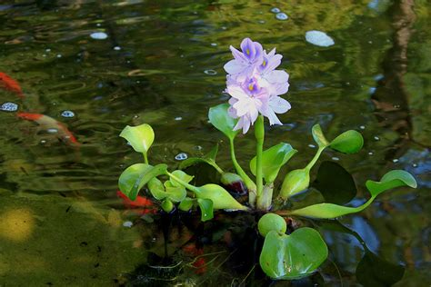 Makanan Ikan Cupang Dari Tumbuhan 10 tanaman yang hidup di air beserta gambarnya