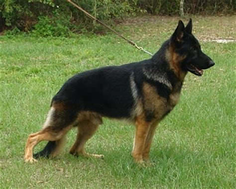 american german shepherd big german shepherds european german shepherd vs american