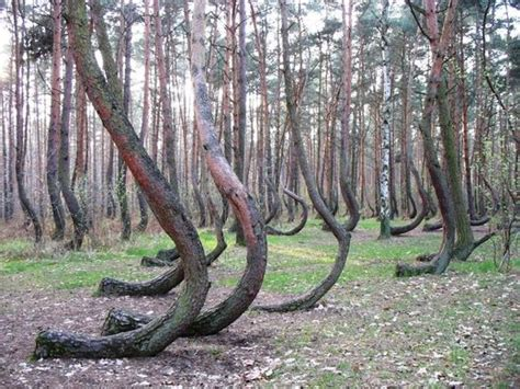 mysterious crooked forest in west pomerania poland poland s mysterious crooked forest kids news article
