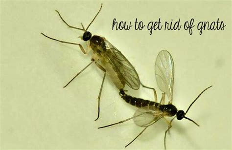 what causes gnats in house how to get rid of gnats home remedies for you
