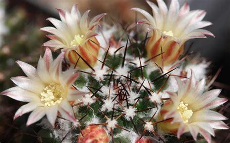 imagenes de flores del co 84 cactus fondos de pantalla hd fondos de escritorio