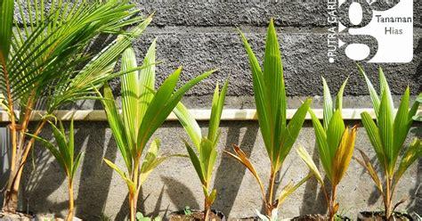putra garden bali jual bibit tanaman kelapa gading