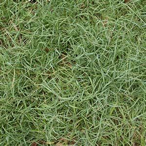 blue couch turf brisbane grass types which grass is right for my lawn victa