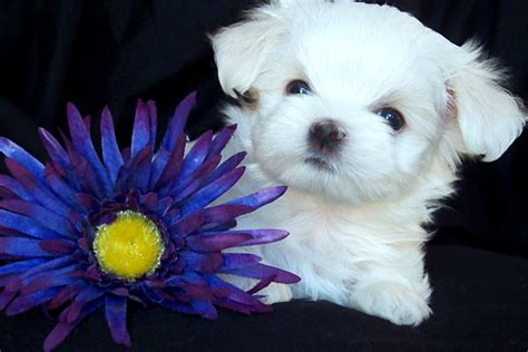 chion havanese puppies maltese show dogs puppies always maltese in show breeds picture