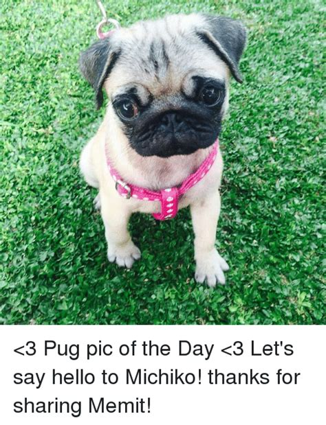 pug of the day 25 best memes about pugs pugs memes