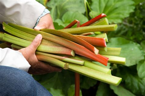 rhubarb container gardening tips on container gardening rhubarb picking