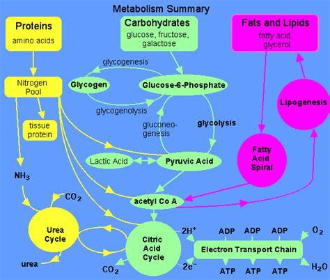 lipid metabolism diagram what causes type 2 diabetes