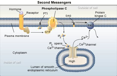 g proteins and second messengers cell signaling tutorial
