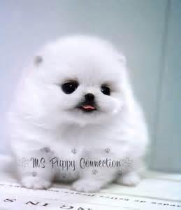 sick pomeranian 1000 ideas about white pomeranian on pomeranians pomeranian puppy and