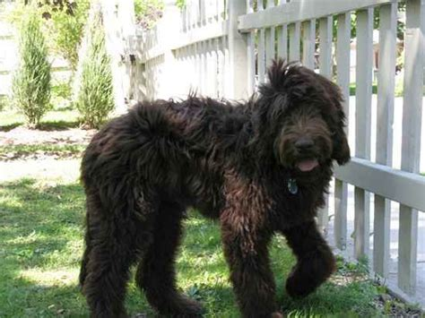 newfoundland poodle mix puppies newfypoo newfoundland poodle mix info puppies and pictures