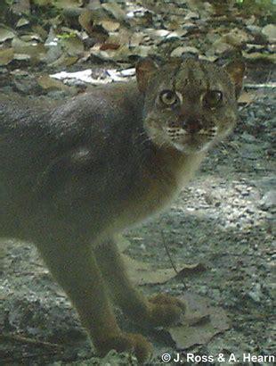 borneo bay cat catsg borneo bay cat