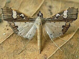 moth photographers group – genitalia – 990520 – 19520