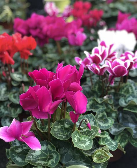 cyclamen aylett nurseries visit ayletts garden centre