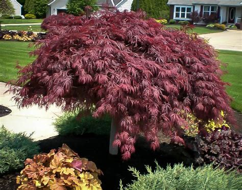 crimson queen japanese maple  sale   tree center