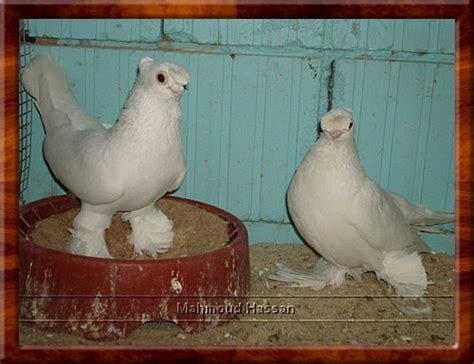 uzbek pigeons pigeon photos pigeons for sale white uzbek tumblers