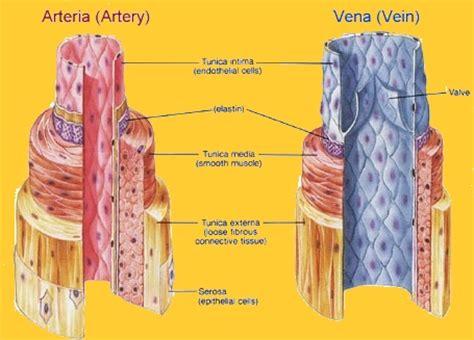 struttura vasi sanguigni medicina